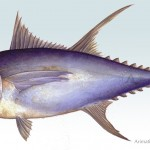 """ Atún Rojo, red tuna"" Watercolors, one of many illustrations done for Junta de Andalucía, included in a manual of how to cut the tuna, ( ""ronqueo"")"